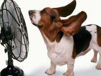 Little dog is enjoying the cool breeze from a large fan.